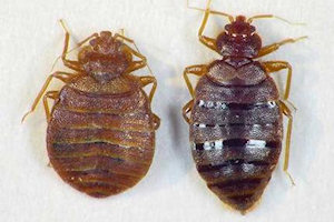 bed bug pest infestation removal