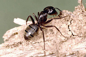 carpenter ant pest removal