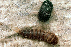 carpet beetle infestation removal