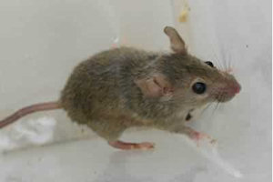 house mouse control and removal hamilton toronto burlington oakville