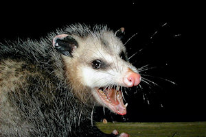 possum control and removal