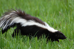 skunk control and removal toronto hamilton burlington binbrook