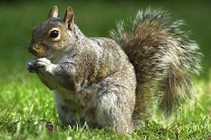 squirrels control and removal